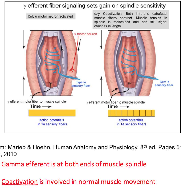 Week 12 - Spinal Reflexes (Physiology) (Phase 1) Flashcards | Memorang