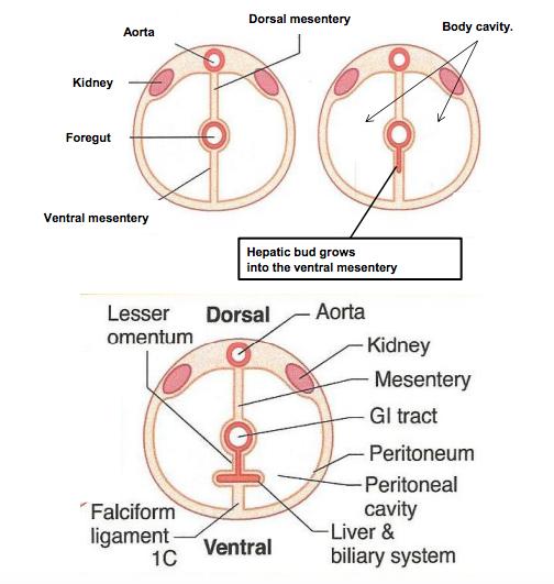 development of the digestive system (gi) flashcards | memorang, Human Body