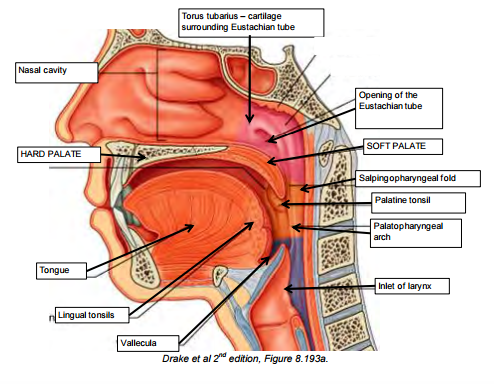Pharynx, Nasal Cavities and Palate (CNS) Flashcards | Memorang