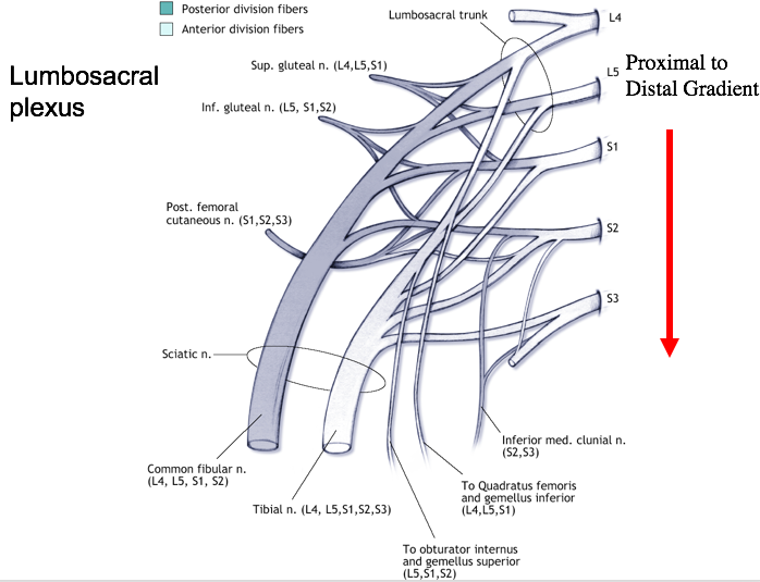 what are the 4 major nerve that serve the lumbosacral plexus