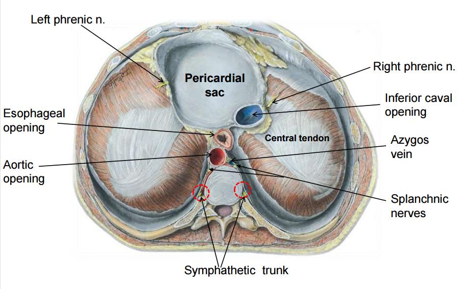 Azygous vein anatomy 3960054 - follow4more.info