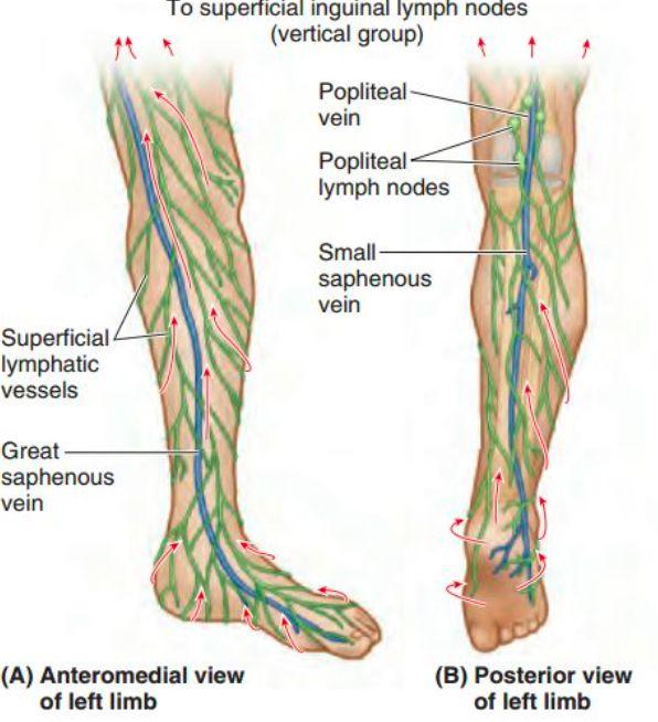 Location Of Lymph Nodes In Foot Gallery - human anatomy organs diagram