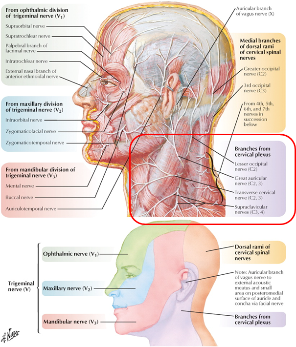Awesome Third Occipital Nerve Anatomy Elaboration - Anatomy And ...