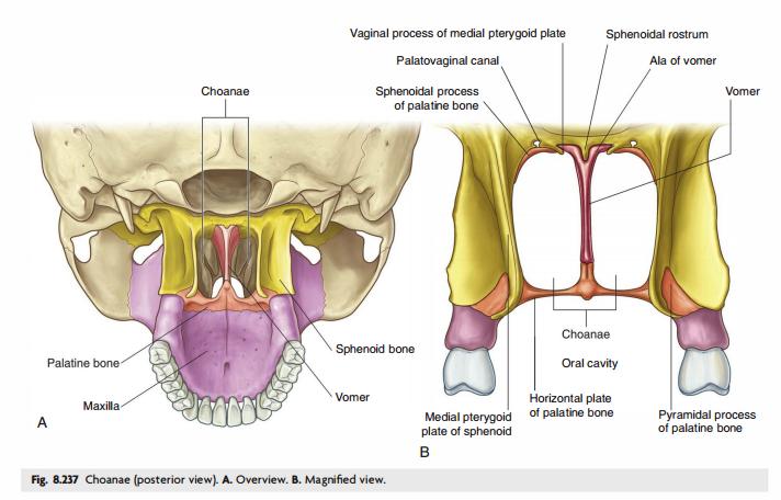 pterygoid bone
