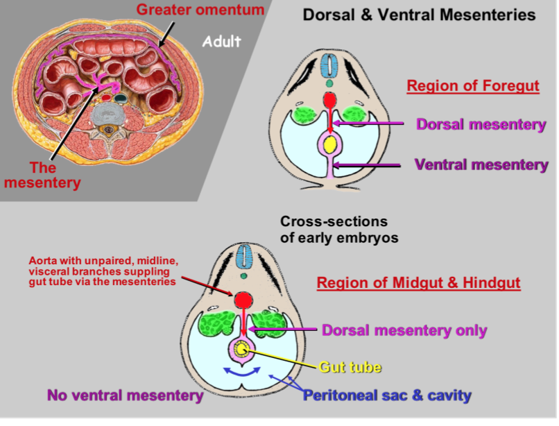abdominal wall and peritoneal sac (lecture #1) (gross anatomy, Human Body