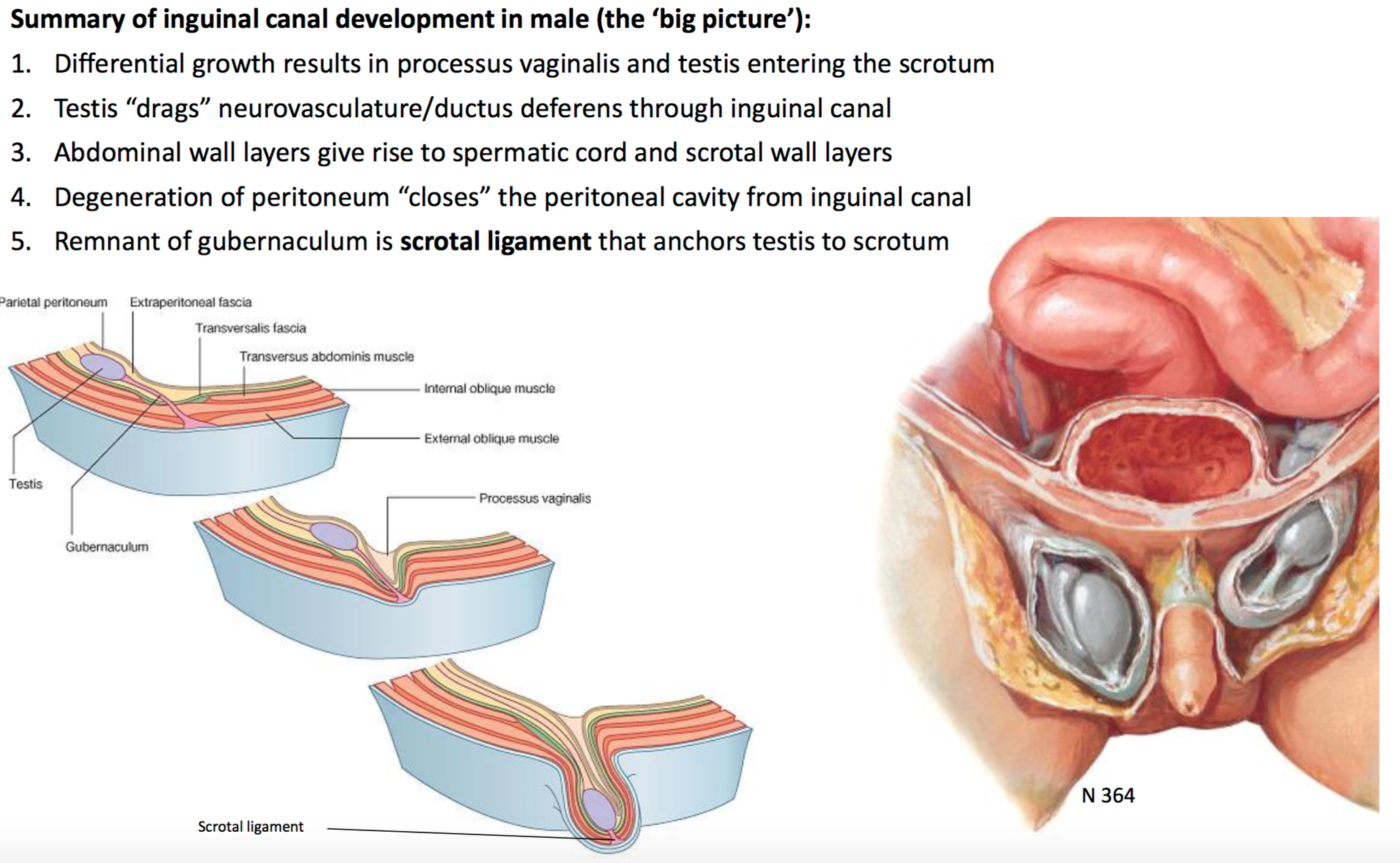 Anatomy Of The Inguinal Canal Gallery - human body anatomy