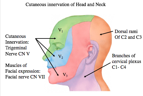 Organization of Neck (Anatomy Test 3) Flashcards   Memorang
