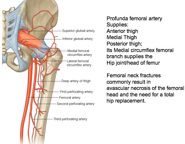 Lumbosacral Plexus (Anatomy Test 2) Flashcards | Memorang