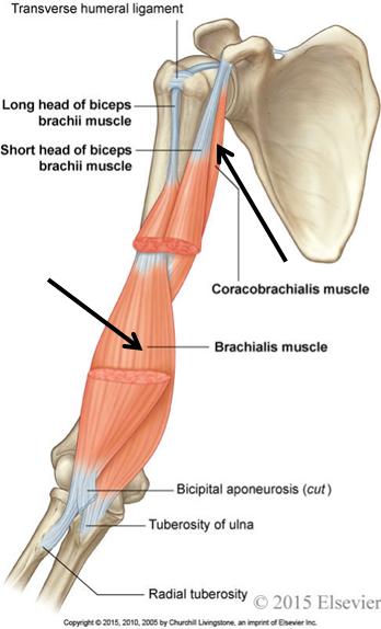 2.05 - Anterior Thorax & Arm + Axilla (Anatomy) Flashcards | Memorang