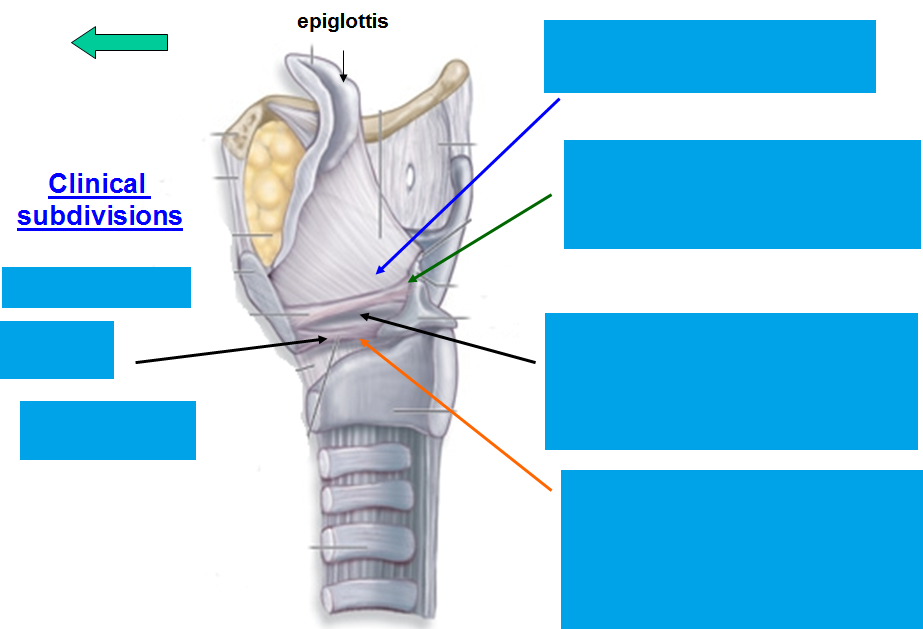 lateral larynx cartilage-blank png