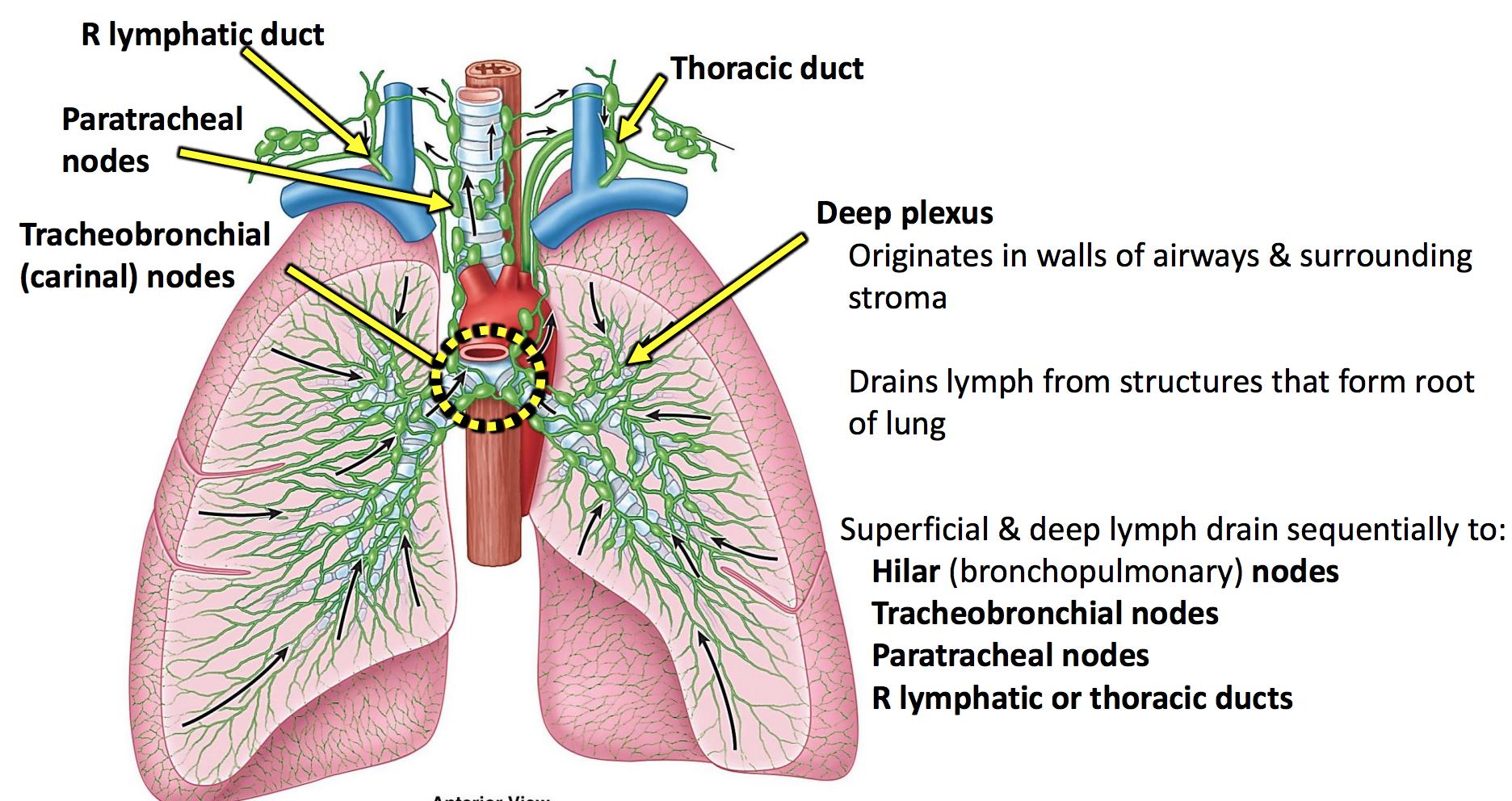 GS G21 Lungs & Pleura (ANATG UNIT 3) Flashcards | Memorang
