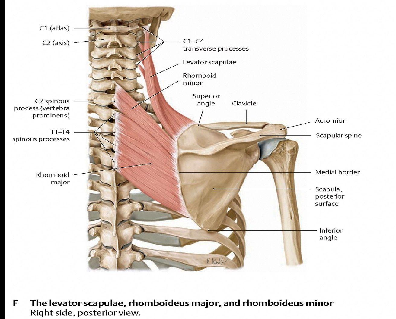 OMM Shoulder (OMM Shoulder) Flashcards | Memorang