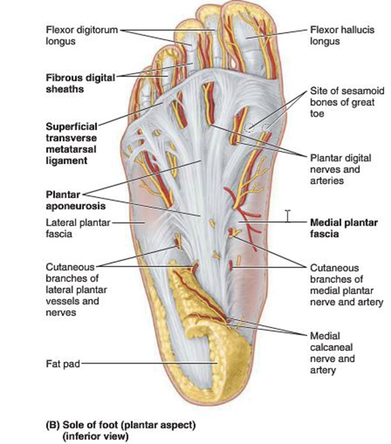011b Dorsum And Plantar Aspect Of Foot Anatomy Flashcards Memorang