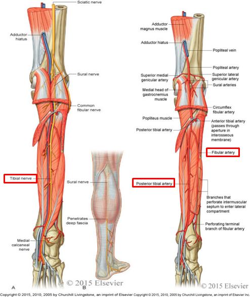 109 Posterior Leg Ankle Joint Anatomy Flashcards Memorang