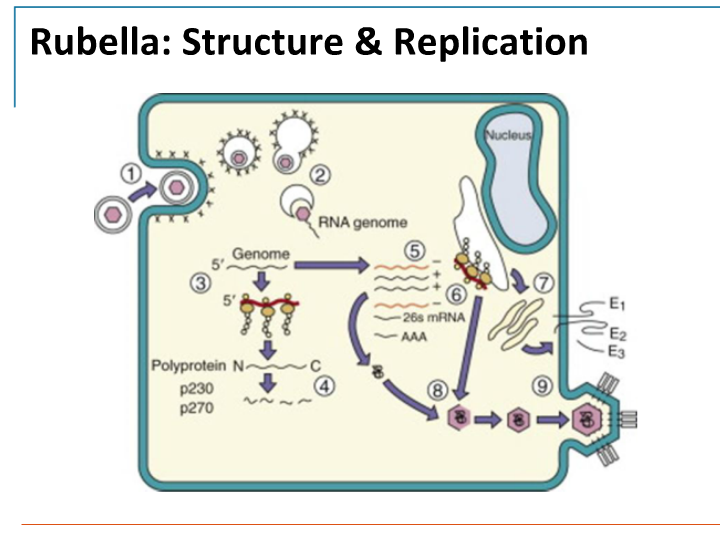 Diagram Of Rubella Virus Search For Wiring Diagrams