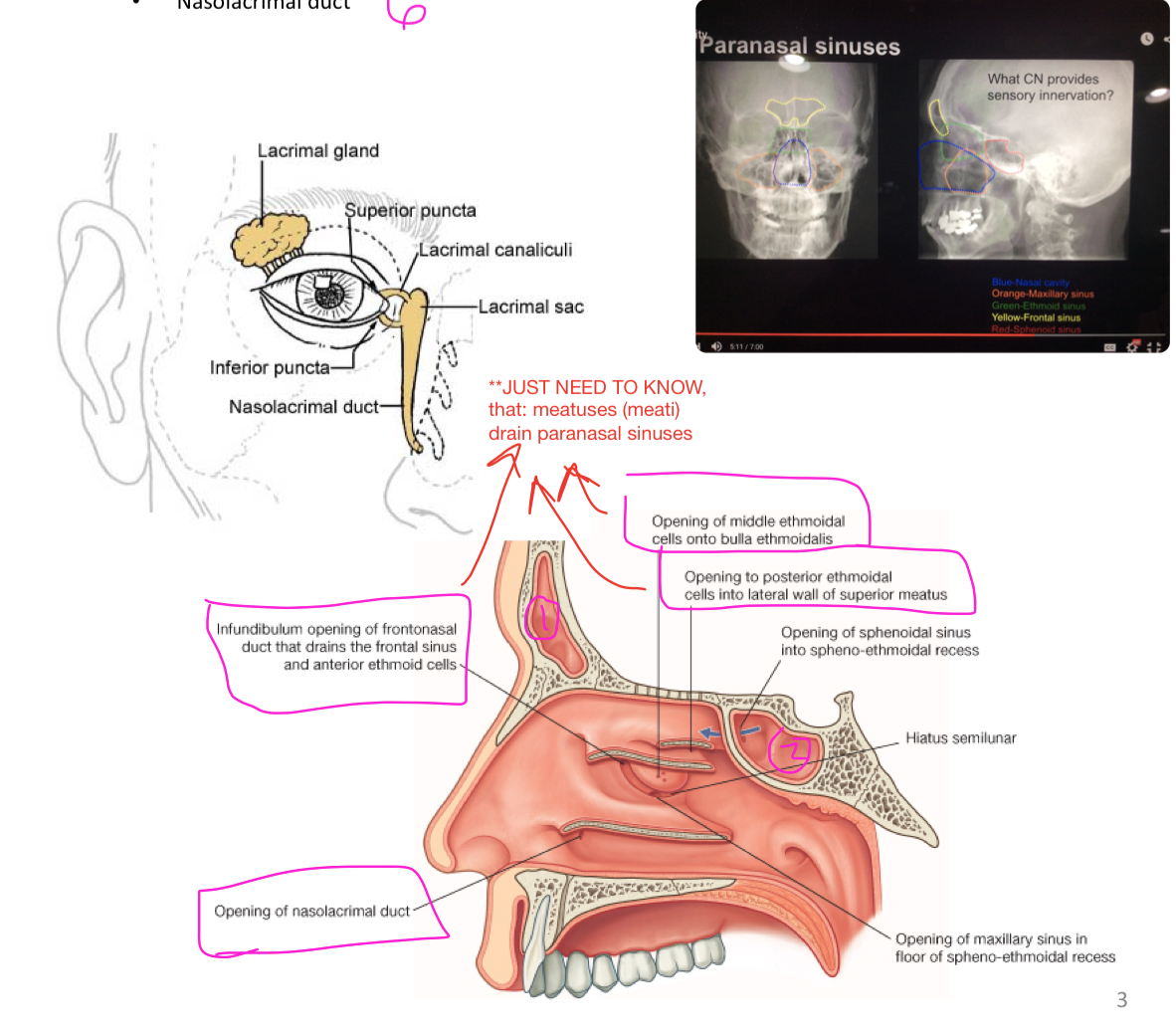 Week 13 - Oral & Nasal Cavity (Anatomy) (Phase 1) Flashcards | Memorang