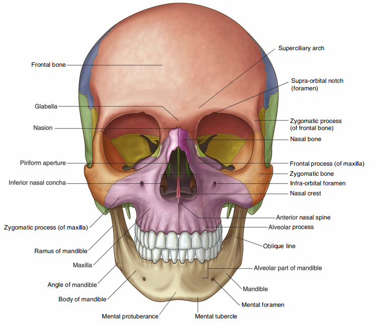 Skull Anatomy Flashcards Memorang