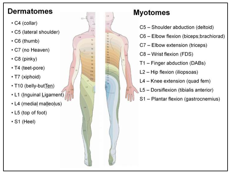 Image Gallery myotomes chart