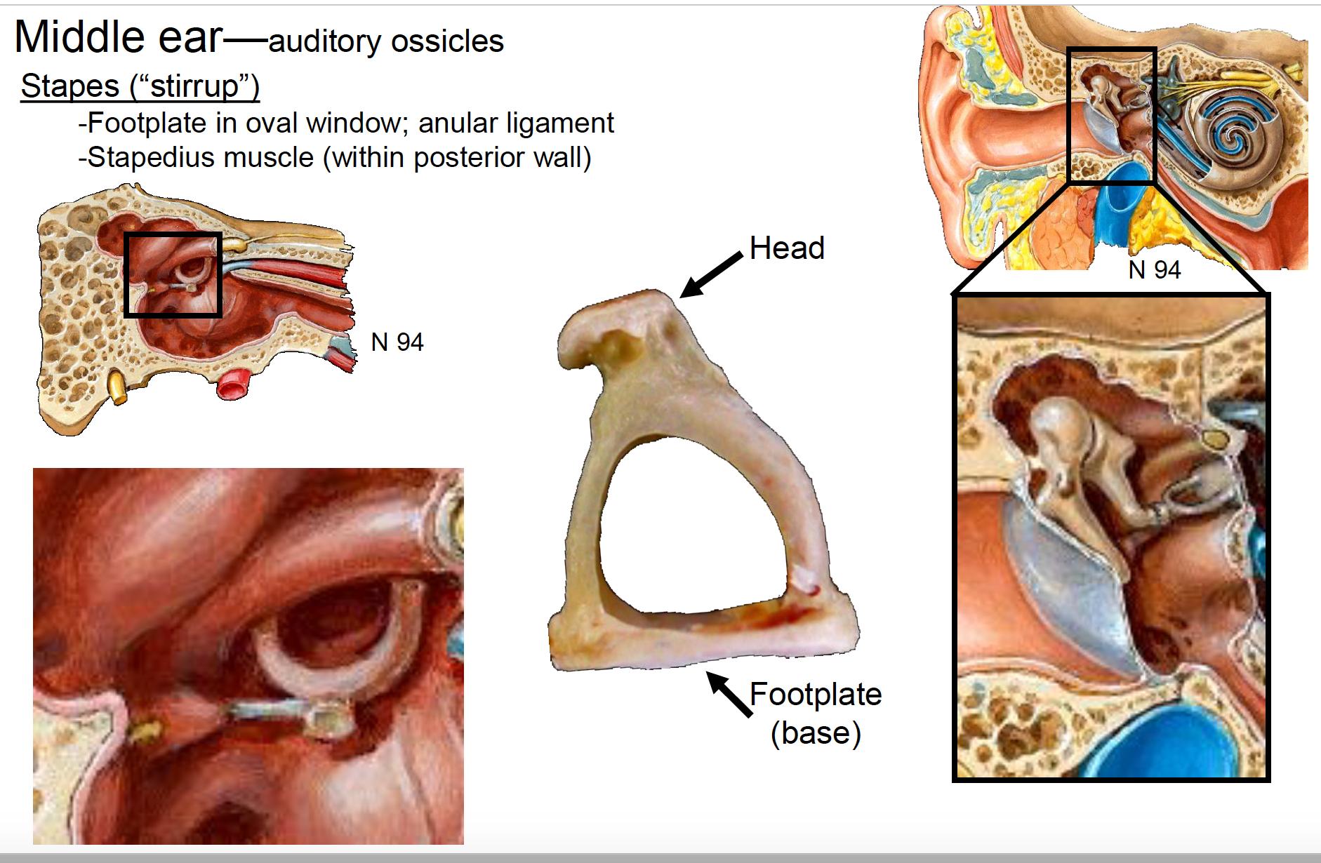 Anatomy G67 Ears Anatomy Unit 8 Flashcards Memorang