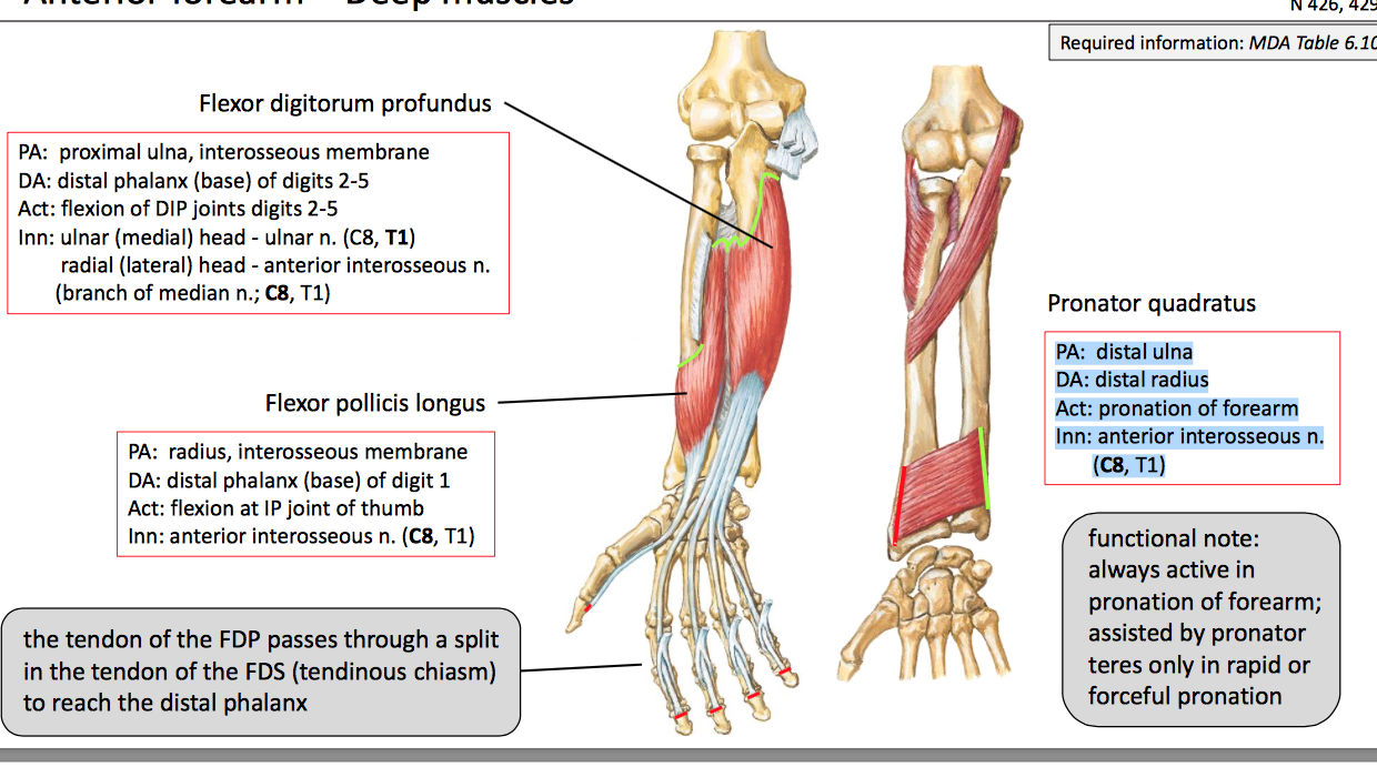 Fancy Proximal Ulna Anatomy Sketch Anatomy And Physiology Tissue