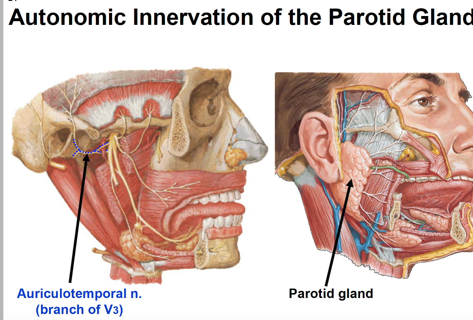 For the sympathetic innervation and more (Terms from Anatomy G68 ANS ...