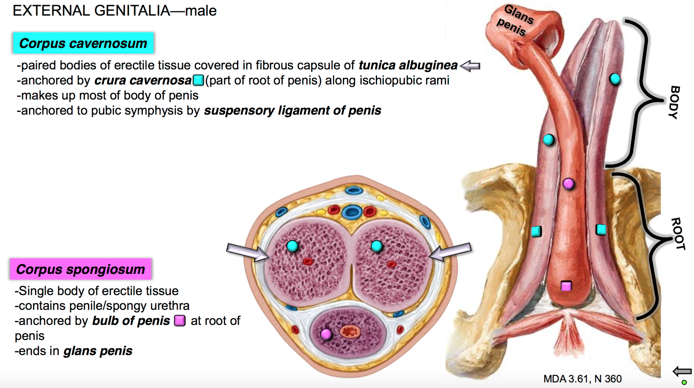 Gs G40 Perineum Ii Anatomy Unit 5 Flashcards Memorang
