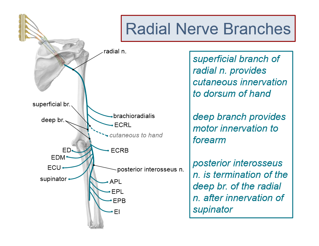 Old Fashioned Anatomy Radial Nerve Photos - Anatomy and Physiology ...