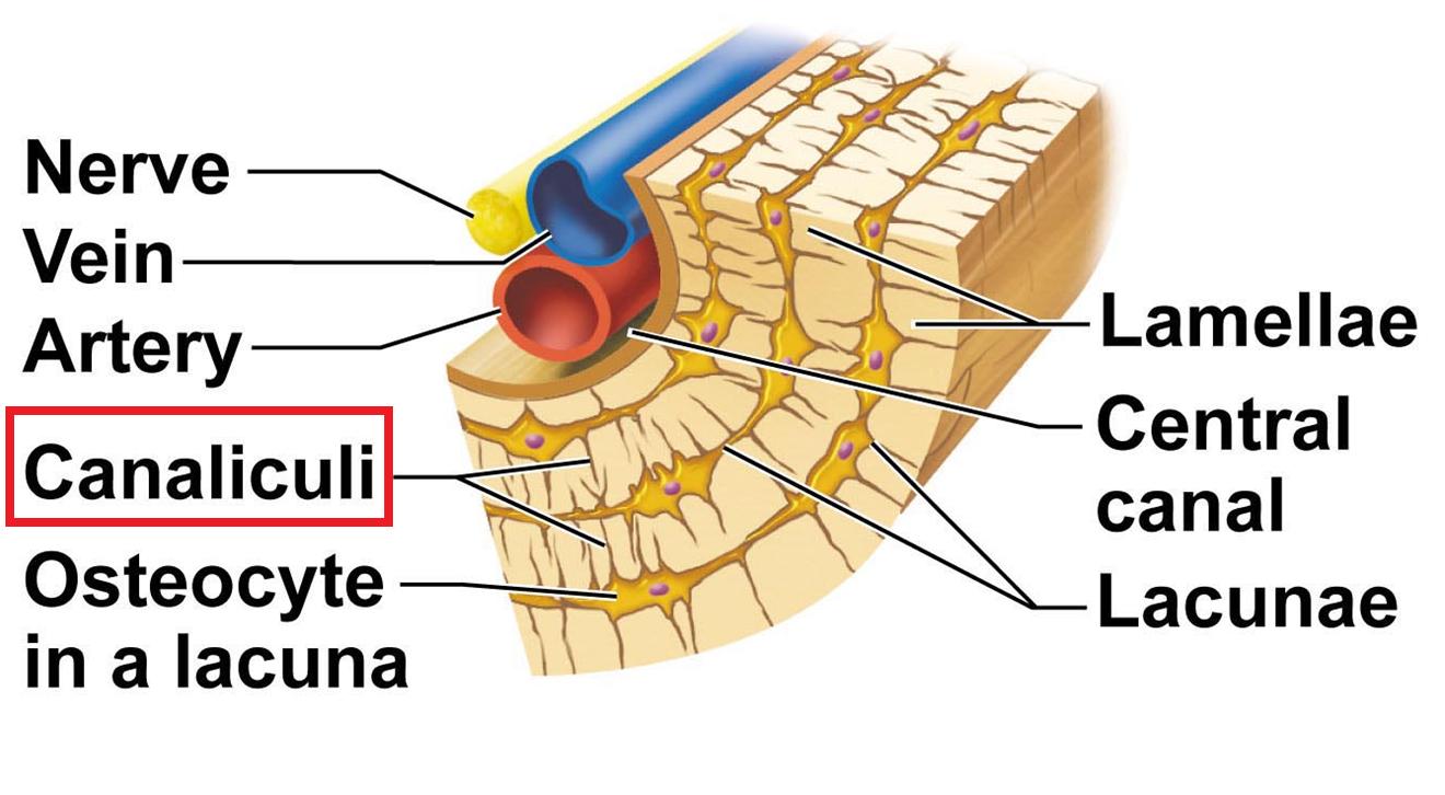 The Skeletal System Bone Structure Mcat 2018 Biology Flashcards