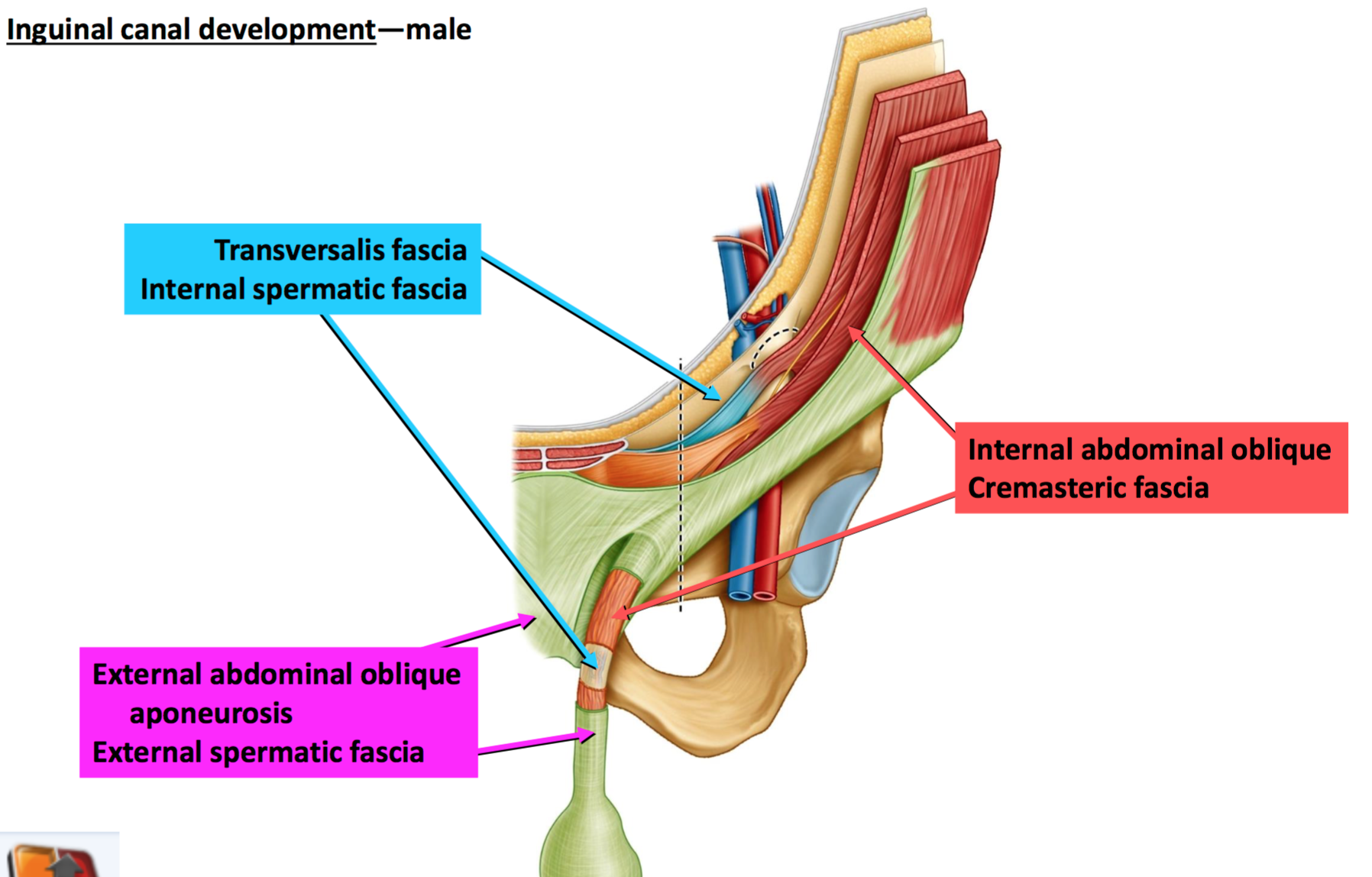 Inguinal canal boundaries in dating