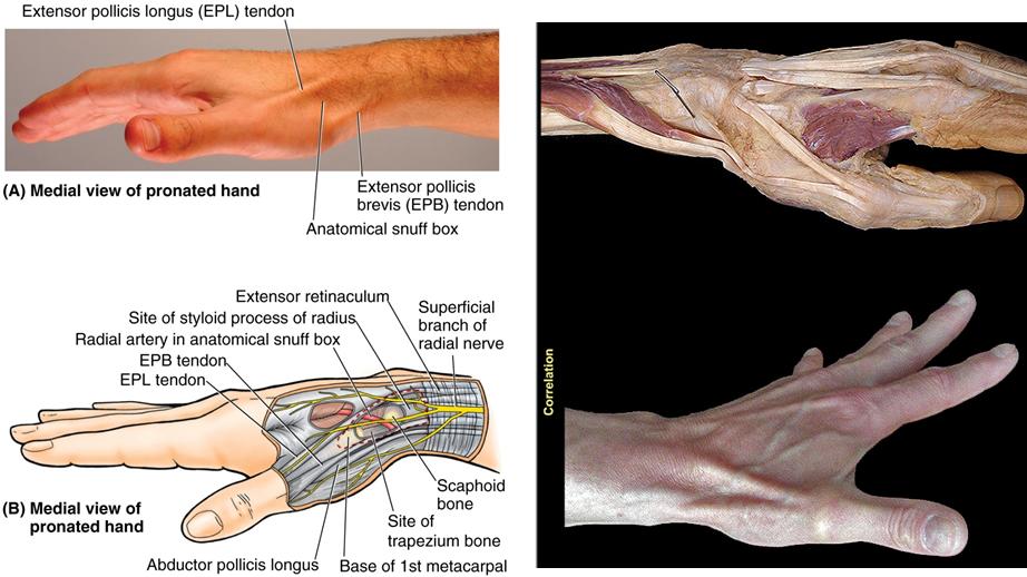 206 Anterior Posterior Forearm Elbow Joint Anatomy