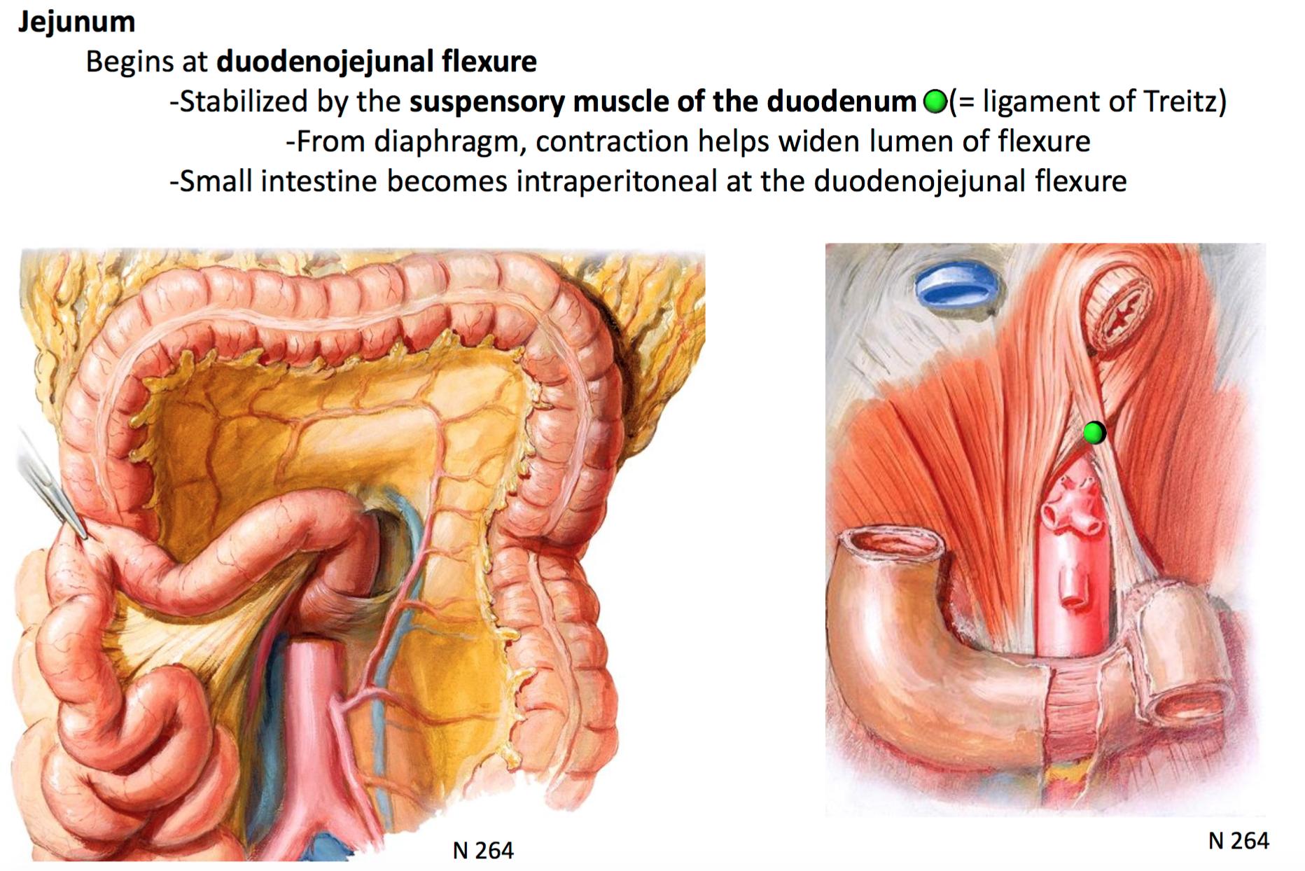 GSAnatomy G31 Midgut + Hindgut (Anatomy Unit 4) Flashcards   Memorang