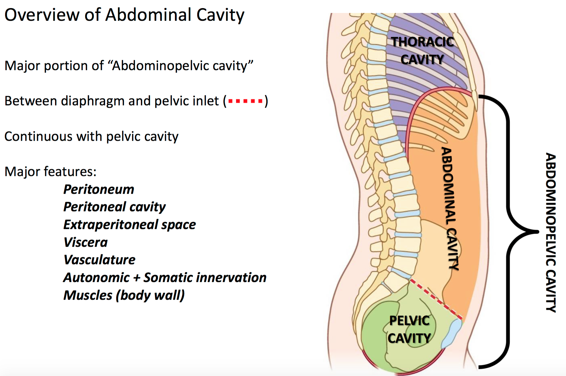 What is the abdominal cavity