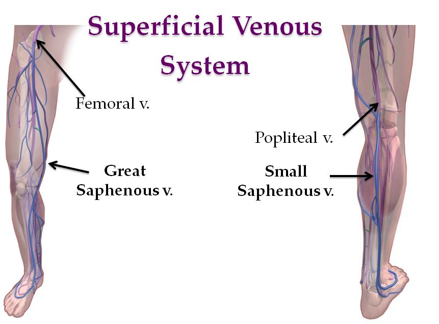 Session 5: Lower Limb Intro (Gross Anatomy Exam 3) Flashcards | Memorang