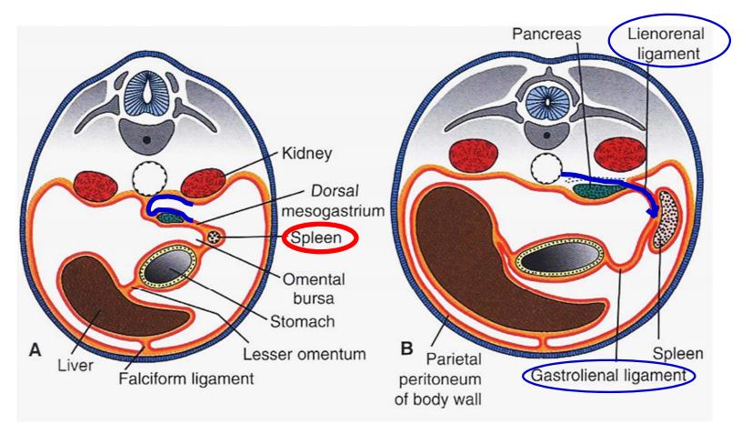gi embryology (embryology) flashcards | memorang, Human Body
