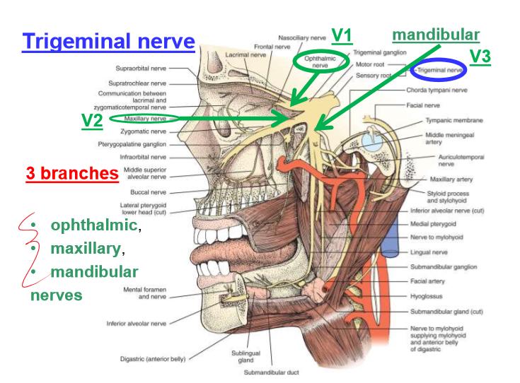 Cranial Nerves 1 6 Neuro Flashcards Memorang