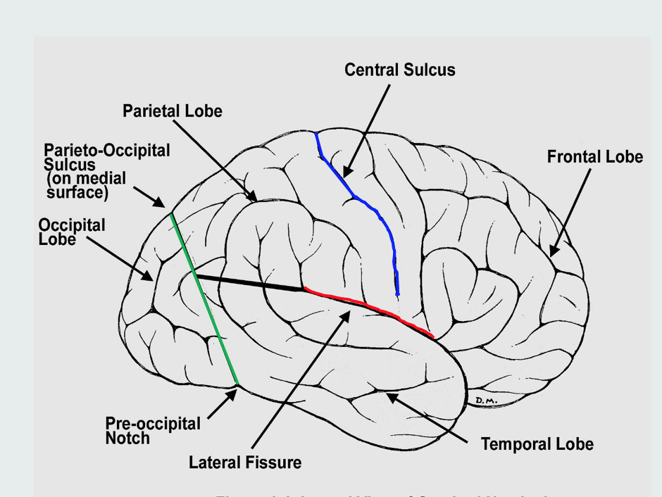 Neuroanatomy (Neuro) Flashcards | Memorang
