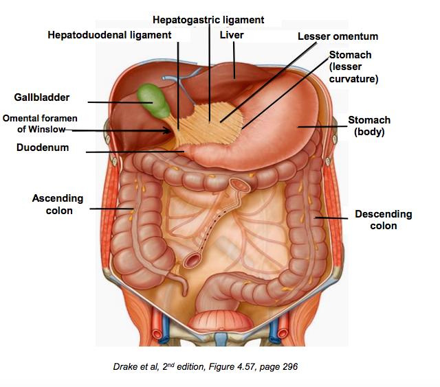 Abdominal Organs and Celiac Trunk (GI) Flashcards | Memorang