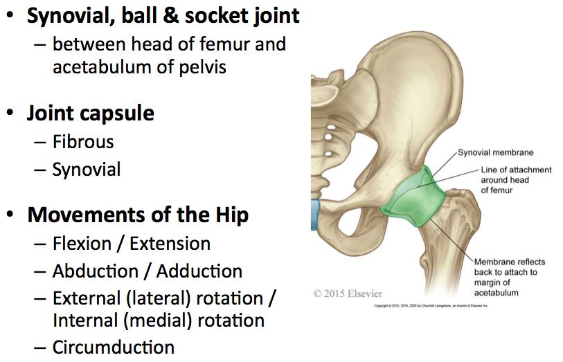 11 2 Gluteal Region Posterior Thigh Hip Joint Boucher