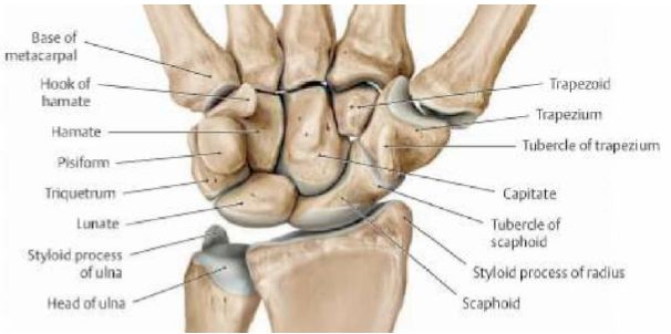 Nice Ulnar Styloid Anatomy Pictures - Anatomy And Physiology Biology ...