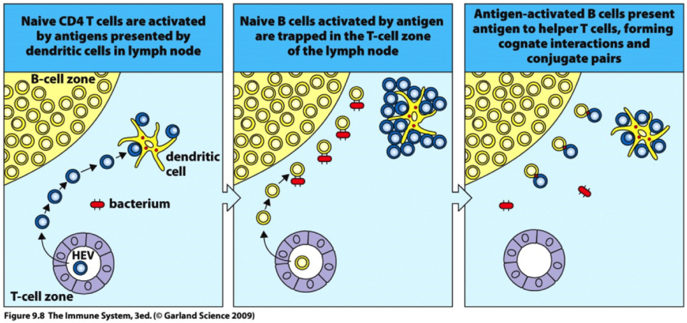 lymphatic system and antigen presenting cells While most structural aspects between lymph nodes and spleen are common, the entry of lymphocytes, antigen-presenting cells, and antigen into lymphoid tissues is regulated differently, reflecting the specialized functions of each organ in filtering either lymph or blood.