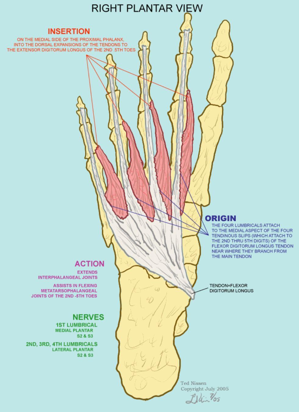 Dorsal And First 2 Layers Of The Foot Terms From Pther 516 Muscle