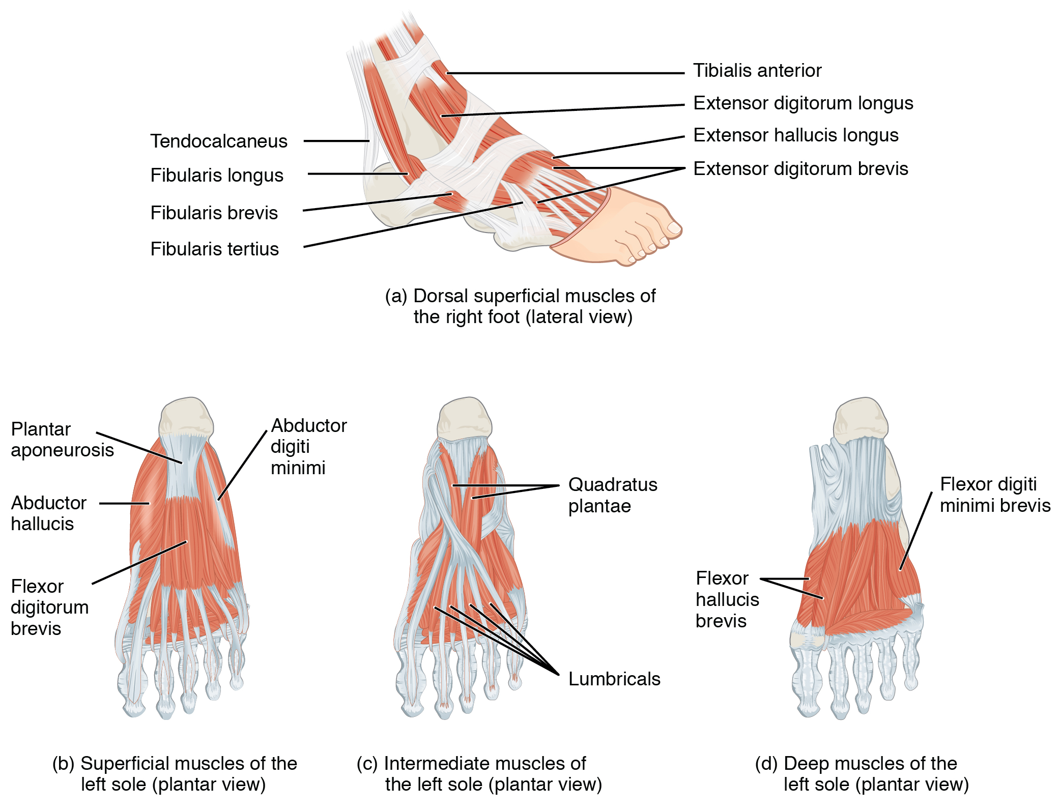 011B - Dorsum and Plantar Aspect of Foot (Anatomy) Flashcards | Memorang