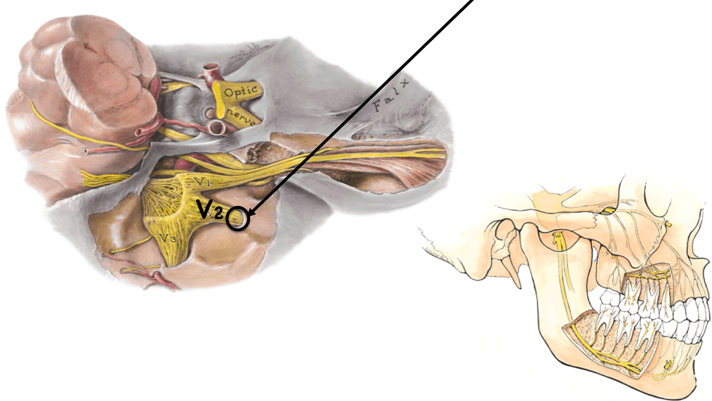 Funky Gross Anatomy Of The Ear Adornment - Anatomy and Physiology ...