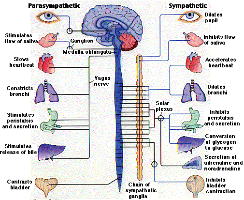 Anatomical divisions of the nervous system npte nervous system parasympathetic division ccuart Choice Image