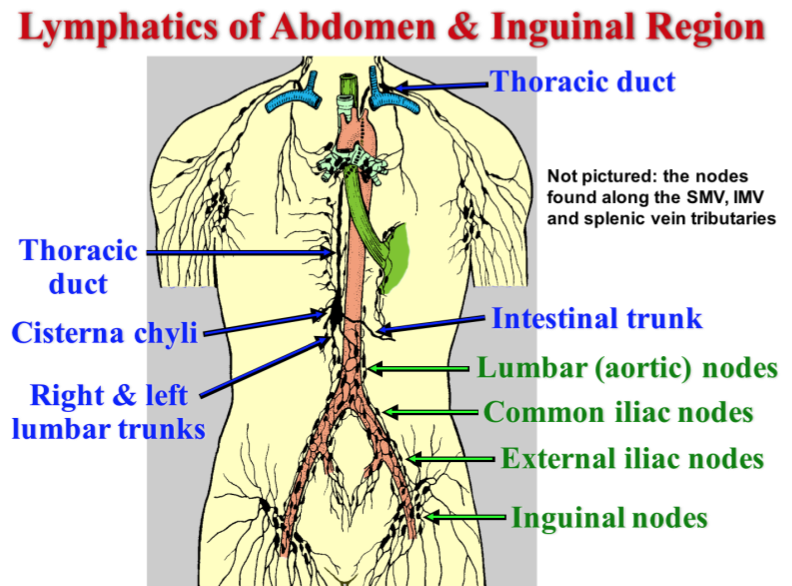 Vascular patterns of the abdomen lecture2 gross anatomy lymph drains to lumbar aortic nodes along abdominal aorta and ivc then to ccuart Image collections
