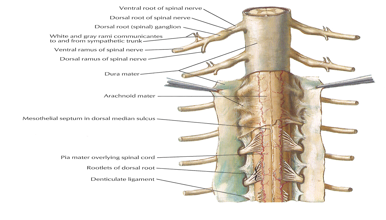 002b Spinal Cord Anatomy Flashcards Memorang Abnormal fusion of these germ layers can result in nonfusion of the. memorang