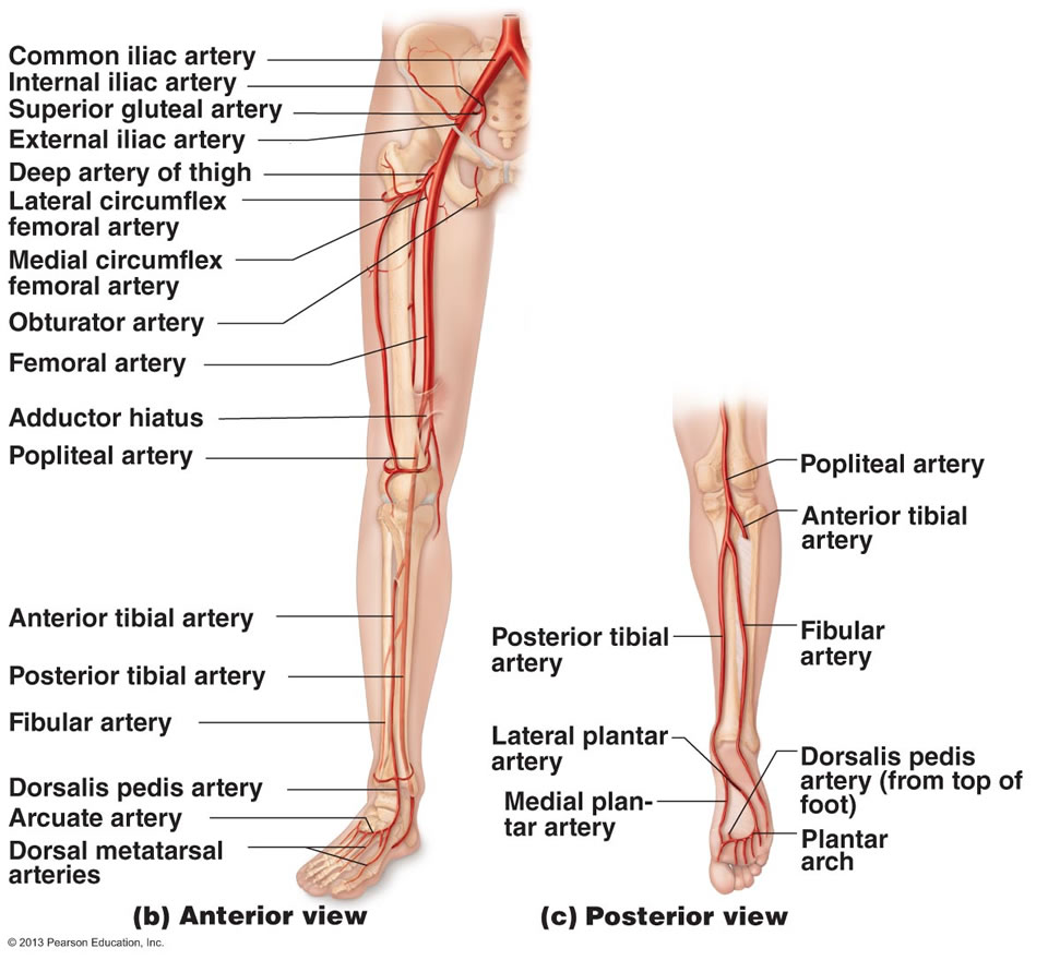 Lower Limb (USMLE) Flashcards | Memorang