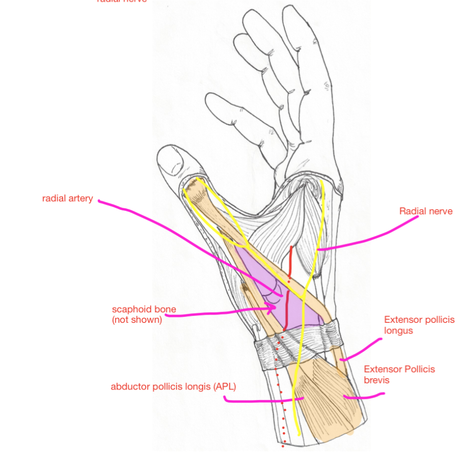 Week 15 - Forearm & Hand (Anatomy) (Phase 1) Flashcards | Memorang