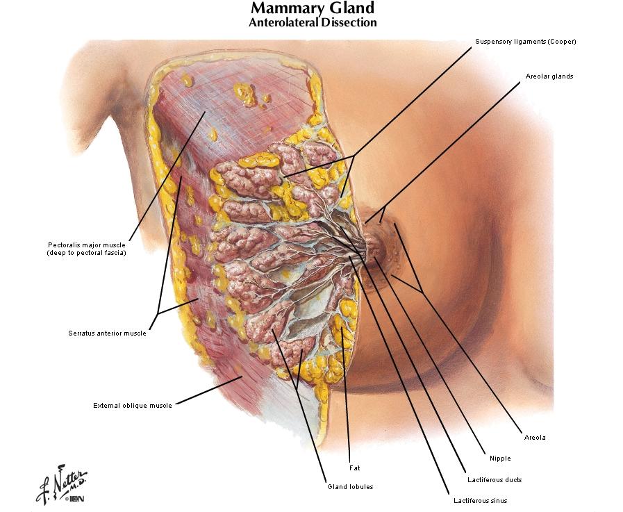 Anatomy Clinical Correlates - Pectoral Region and Axilla (Unit 2 ...