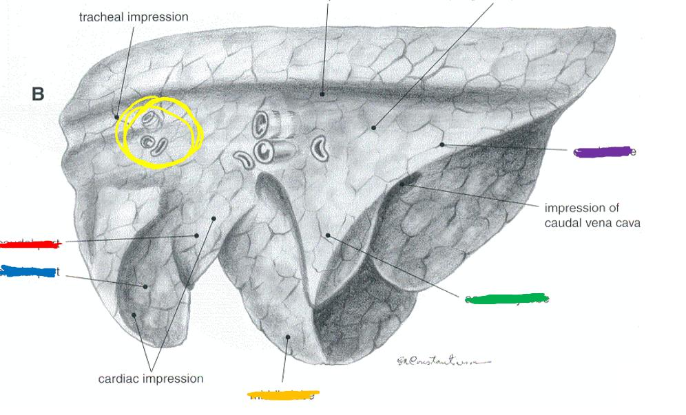 Anatomy 2 Exam 2 (Pleura and respiratory organs) Flashcards | Memorang